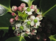 Holly (Ilex aquifolium) - female flowers