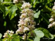 Horse-chestnut (Aesculus hippocastanum) flower