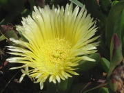 Hottentot-fig