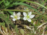 Knotted Pearlwort