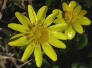 Lesser Celandine (Ficaria verna or Ranunculus ficaria)