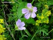 Long-stalked Crane's-bill (Geranium columbinum)