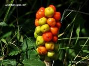 Lords-and-Ladies or Cuckoo-pint  (Arum maculatum) fruit