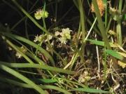 Marsh Pennywort (Hydrocotyle vulgaris)