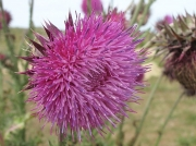 Musk Thistle or Nodding Thistle (Carduus nutans)