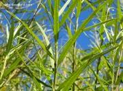 Osier (Salix viminalis) leaves
