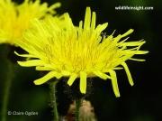 Perennial Sow-thistle (Sonchus arvensis)
