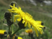Perennial Sow-thistle (Sonchus arvensis)