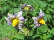 Potato (Solanum tuberosum)