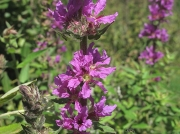 Purple-loosestrife (Lythrum salicaria)