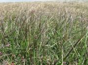 Purple Moor-grass (Molinia caerulea)