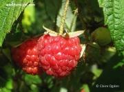 Raspberry (Rubus idaeus) fruit