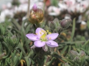 Rock Sea-spurrey (Spergularia rupicola)