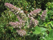 Round-leaved Mint (Mentha suaveolens)