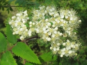 Rowan or Mountain Ash (Sorbus aucuparia)