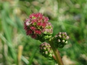 Salad Burnet (Sanguisorba minor subsp. minor) - showing female flowers