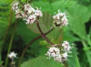 Sanicle (Sanicula europaea)