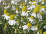 Scented Mayweed (Matricaria recutita)