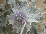 Sea-holly (Eryngium maritimum)