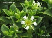 Sea Sandwort (Honckenya peploides)