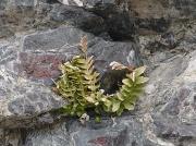 Sea Spleenwort (Asplenium marinum)