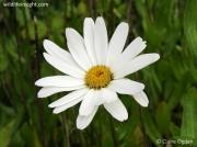Shasta Daisy (Leucanthemum x superbum)