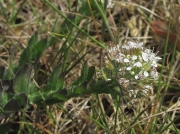 Smith's Pepperwort (Lepidium heterophyllum)