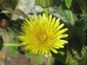 Smooth Sow-thistle or Milk Thistle (Sonchus oleraceus)