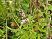 Spear Mint (Mentha spicata)