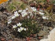 Spring Sandwort (Minuartia verna)