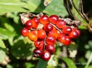 Stinking Iris (Iris foetidissima) - fruit