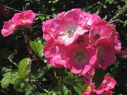 Sweet-briar (Rosa rubiginosa)