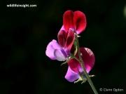 Sweet Pea (Lathyrus odoratus)