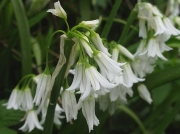Three-cornered Garlic (Allium triquetrum)