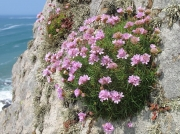 Thrift or Sea Pink (Armeria maritima subsp. maritima)