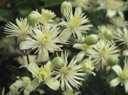 Traveller's-joy or Old Man's Beard (Clematis vitalba)