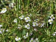Water-plantain (Alisma plantago-aquatica)
