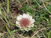 Western Clover (Trifolium occidentale)