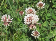 White Clover or Dutch Clover (Trifolium repens)