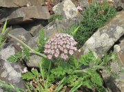 Sea Carrot (Daucus carota subsp. gummifer)