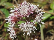 Winter Heliotrope (Petasites fragrans)