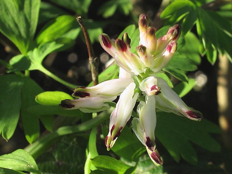 White Ramping-fumitory (Fumaria capreolata)