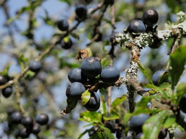 Blackthorn (Prunus spinosa) - fruit