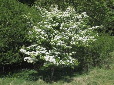 Hawthorn (Crataegus monogyna) - tree