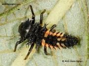 Harlequin Ladybird (Harmonia axyridis) larva