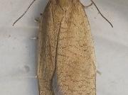 0988 Bilberry Tortrix (Aphelia viburnana)