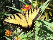 Eastern-Tiger-Swallowtail-Papilio glaucus 2512