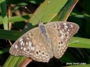 Hackberry Emperor Butterfly (Asterocampa celtis) 17 9 17