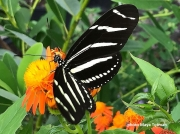 Heliconius-charithonia-zebra-longwing butterfly