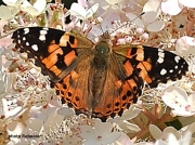 Painted-Lady-butterfly (Vanessa cardui) US-8171
